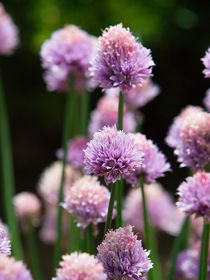 Chives by bill