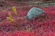 Autumn blueberry field, Maine, USA by John Greim
