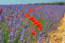 Poppies in a lavender field by Sami Sarkis Photography