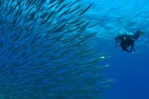 Diver looking at juveniles barracuda schooling near surface von Sami Sarkis Photography