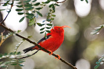 Iiwi bird on branch by Sami Sarkis Photography