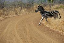 Burchell's Zebra (Equus burchelli) crossing dirt road by Sami Sarkis Photography