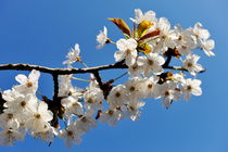 Almond tree in flower at spring von Sami Sarkis Photography