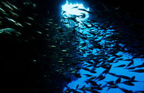 School of Glass fish in an underwater cave von Sami Sarkis Photography