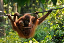 Mother and baby Orang Utan playing by Sami Sarkis Photography