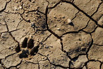 Animal footprint in cracked mud surface by Sami Sarkis Photography
