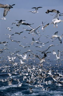 Flock of seagulls in the sea and in flight by Sami Sarkis Photography