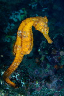 Sea horse (Hippocampus) underwater view by Sami Sarkis Photography