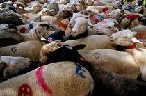 Transhumance of flock of sheep by Sami Sarkis Photography