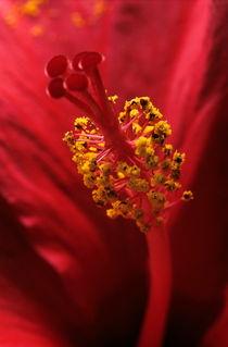 Rf-flower-hibiscus-pollen-red-stamen-var203