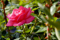 Drops on a rose after a rain shower. by Sami Sarkis Photography