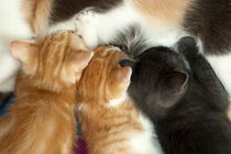 Rm-animal-family-cute-feeding-kittens-together-ani167