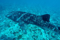 Spotted whale shark (rhincodon typus) swimming in Ari Atoll by Sami Sarkis Photography