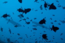 Two Whitetip Reef Sharks (Triaenodon obesus) swimming amongst a school of Blue Triggerfish (Odonus niger) by Sami Sarkis Photography