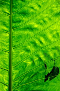 Rf-bright-insects-leaf-veins-vanuatu-vt233
