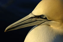Portrait of a Northern Gannet (Morus bassanus) at sunrise by Sami Sarkis Photography