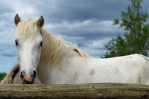 Camargue horse in paddock by Sami Sarkis Photography