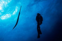 Scuba diver and Cornetfish underwater by Sami Sarkis Photography