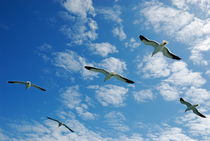 Flock of five Seagulls flying in the sky by Sami Sarkis Photography