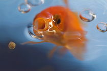 Goldfish opening mouth to catch food by Sami Sarkis Photography