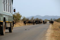 Safari truck stopped by a herd of African buffaloes by Sami Sarkis Photography
