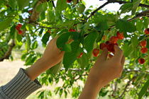 Picking cherries from tree by Sami Sarkis Photography