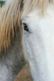 Camargue horse portrait by Sami Sarkis Photography
