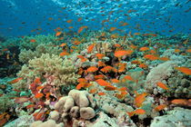 Anthias fishes and coral reef by Sami Sarkis Photography