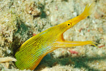 Yellow Ribbon eel  von Sami Sarkis Photography