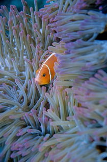 Pink Anemonefish (Amphiprion perideraion) in sea anemone by Sami Sarkis Photography
