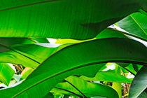 Banana leaves by Sami Sarkis Photography