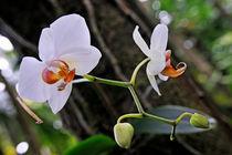 White Orchids von Sami Sarkis Photography