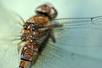 Dragonfly close-up by Sami Sarkis Photography