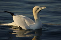 One Northern Gannet (Morus bassanus) swimming at sunrise by Sami Sarkis Photography