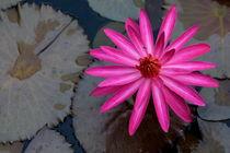 Rf-beauty-floating-pond-water-lilies-yangshuo-chn1954