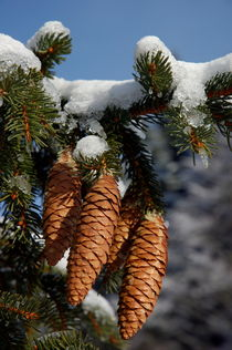 Pinecones hanging from a snow-covered fir tree branch. by Sami Sarkis Photography