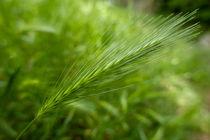 Rm-beginnings-france-green-wheat-crop-var948