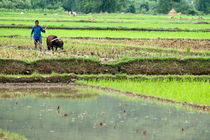 Peasant harvesting a rice paddy with a buffalo von Sami Sarkis Photography