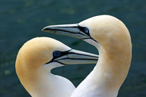 Rf-gannets-mates-togetherness-wildlife-ani301