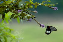 Female Great Mormon (Papilio memnon) butterfly on a branch by Sami Sarkis Photography