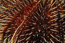 White Sea Urchin (Tripneustes depressus) von Sami Sarkis Photography