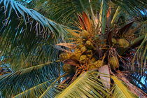 Rf-coconuts-growth-leaves-maldives-palms-tree-mld0241