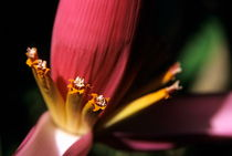 Pink banana flower growing on the island of Tanna by Sami Sarkis Photography