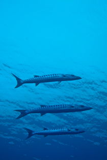 Three Great Barracuda (Sphyraena barracuda) swimming in blue waters by Sami Sarkis Photography