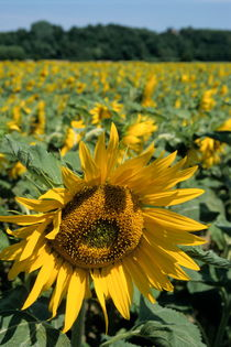 Sunflowers in field during summer by Sami Sarkis Photography