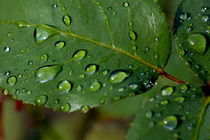 Drops on a rose leaf after a rain shower. by Sami Sarkis Photography