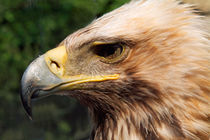 Rm-golden-eagle-predator-wildlife-ani066