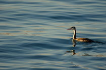 Rm-bird-great-crested-grebe-lake-rippled-ani174