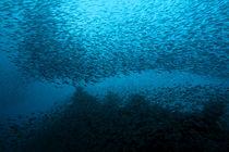 School of nose-spot cardinal fish (rhabdamia cypselura) swimming von Sami Sarkis Photography