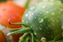 Drops on immature green tomatoe after a rain shower. by Sami Sarkis Photography